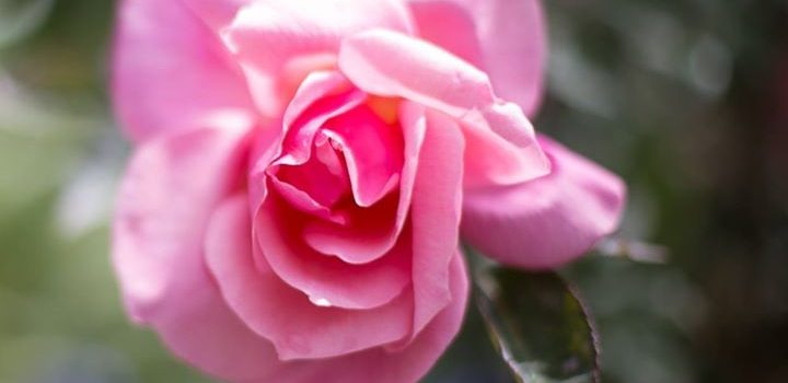 Beautiful soft fragrant rose – the heart of our products